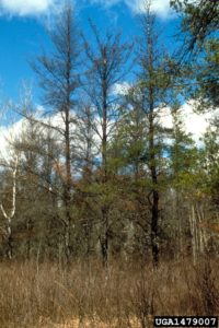 Three host trees showing severe defoliation and mortality due to jack pine budworm defoliation.