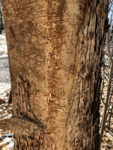 Dense EAB larval galleries on the wood surface of infested white ash.