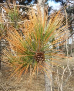 Red pine shoot with needle tip browning from salt spray injury.