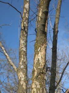 "Ash trees with woodpecker ""flecking"" indicate EAB infestation."