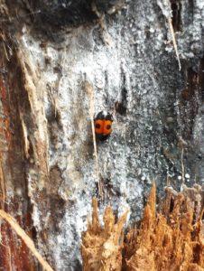 Sap-feeding beetle on diseased oak tree in Sawyer County.
