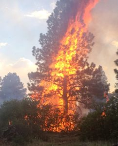Torching pine during a wildfire.