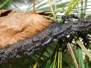 Ants guard aphids from predators as they feed. In exchange, the ants collect the sweet honeydew excreted by the aphids.