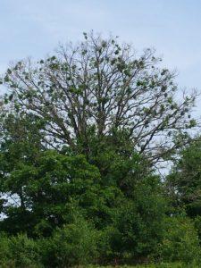Bur oak with moderate crown dieback in June 2018.