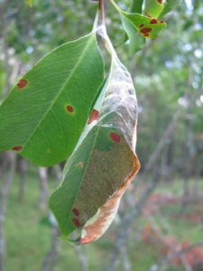 Caterpillars feed inside the nests formed by tying leaves together.