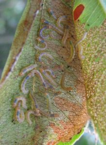 Early instar caterpillars on cherry leaf.