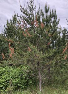 Jack pine with dead branch tips caused by jack pine resin midge. Photo: Paul Cigan.