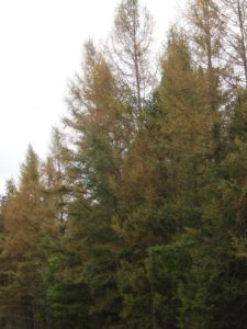 Defoliated larch needles turn yellow then brown.