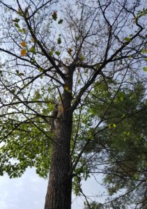 Tree dying from oak wilt with rapidly dropping leaves.