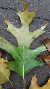 Red oak leaf from infected tree. Leaves are often green at the base, with the outer portions of the leaf appearing water-soaked or brownish.