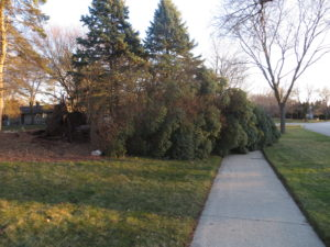 Uproot conifer following storm event.