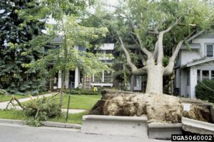 Uprooted tree and damage to house and sidewalk