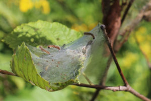 Fall webworm larvae in and on top of webbing spun around branch tip. Credit: Courtney Celley, USFWS.
