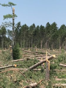 Broken and leaning pine trees following storm event. Damaged trees are more vulnerable to bark beetle attack.
