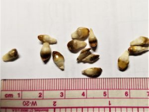 Pip galls that have dropped to the ground might be mistaken for seeds of another plant.