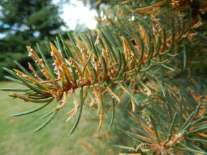 Spore-producing structures of the fungus emerging from the spruce needles.
