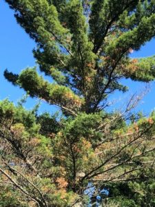 Branch tips throughout the white pine tree are wilting and turning brown due to white pine bast scale feeding.