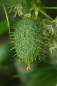 Wild cucumber fruits are small, green and covered with soft spines. Credit: Susan Mahr.