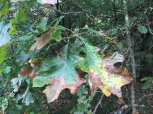 Red oak leaf infected with a fungal leaf disease in late summer 2019.