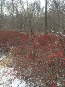 Thickets of Japanese barberry with snow on the ground. These thickets provide cover for ticks and rodents year-round.