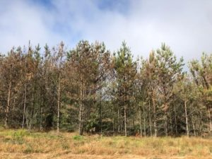 Row of pine trees with browning needles from pine wood nematode infestation.
