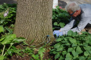 Man kneels beside ash tree and inserts the trunk injection spigots to treat against emerald ash borer.