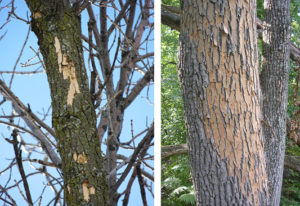 Two side-by-side images depicting different stages of flecking on ash trees - on left side is light flecking in the upper canopy of a tree, on the right side is more severe flecking that extends down the trunk of the tree