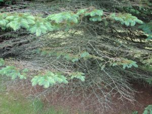 Lower branches of an infected spruce tree have lots of missing needles and some that are browning.