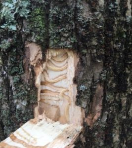 A square window of bark is removed from green ash to uncover EAB larvae underneath.