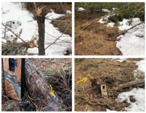 Four images of winter damage to jack pine, including stem failure from gall damage, root failure due to Armillaria root disease.
