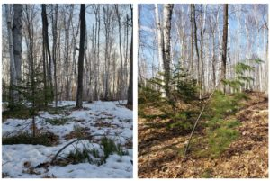 These two pictures, taken March 31 and April 11, show a young white pine that was able to rebound after being released from the snow.