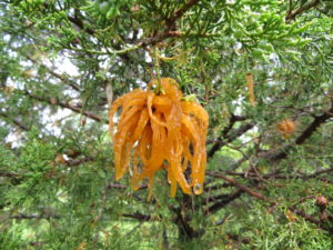 Close-up of orange gelatinous gall growing on cedar caused by cedar apple rust.