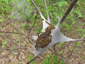 A cluster of eastern tent caterpillars on white silk tent.