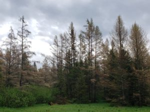 A horizon of tamarack trees defoliated by larch casebearer appear straw-colored or tan from a distance.