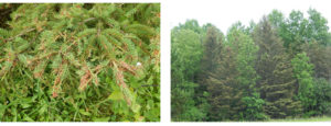 Side-by-side images of defoliation impacts from spruce budworm. On left, frass and clipped needles collect in webs on branch tips and on right, crown and branch dieback.
