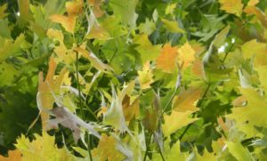 Some oak leaves look red from a distance, likely due to a prolonged cool spring.