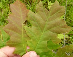 A close-up view of an oak leaf reveals that the reddish tones are not from insect or disease but are the leaf's natural color.