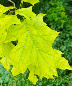 A chlorotic leaf has yellow leaf tissue with green veins.