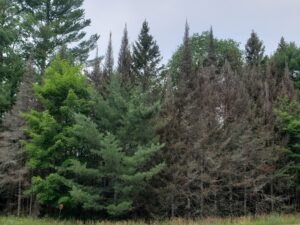 Mortality of balsam fir due to repeated defoliation by spruce budworm. Green trees in this photo, including hardwoods and pines, are not fed upon by spruce budworm.