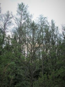 Jack pine trees defoliated by jack pine budworm.