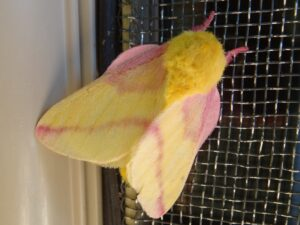 The adult stage of the green-striped mapleworm is a rosy maple moth that has a vibrant pattern of yellow and pink. on its wings, head and antennae.