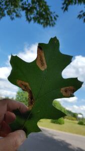 Oak leafminers feed within the leaf, leaving behind semi-transparent patches.