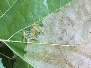 The right side of the photo shows where the leaf has already been fed upon by oak slug sawfly. Numerous slug sawfly larvae are feeding within in the green area (left side) of the leaf.