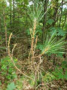 Feeding damage from the first generation sawflies occurs on the previous year's needles, as shown in this photo. The second generation sawflies feed on new needles, which makes defoliation much more visible.