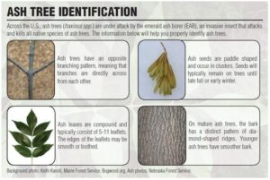 Infographic showing four ways to identify ash trees.