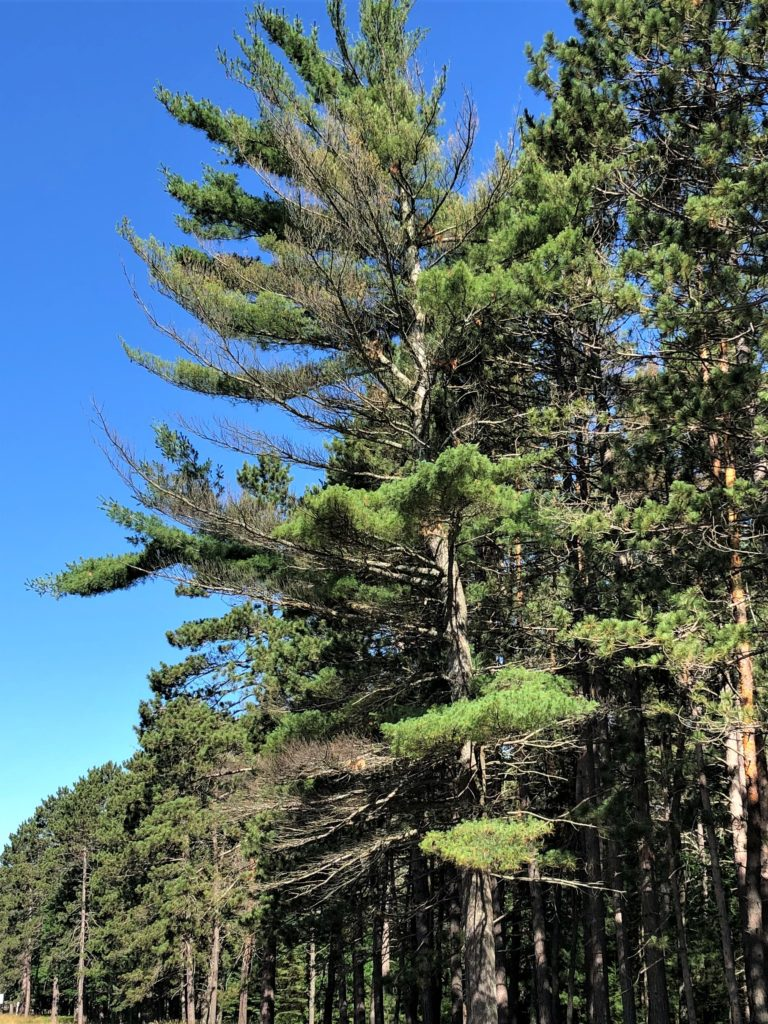 A white pine tree showing branch dieback in the mid and lower crown.