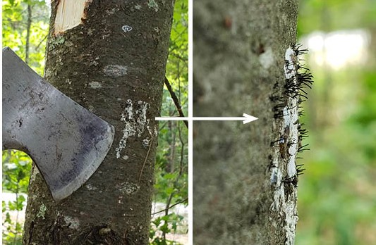 Look closely at resinous spots on the trunk and branches for signs of Caliciopsis canker.