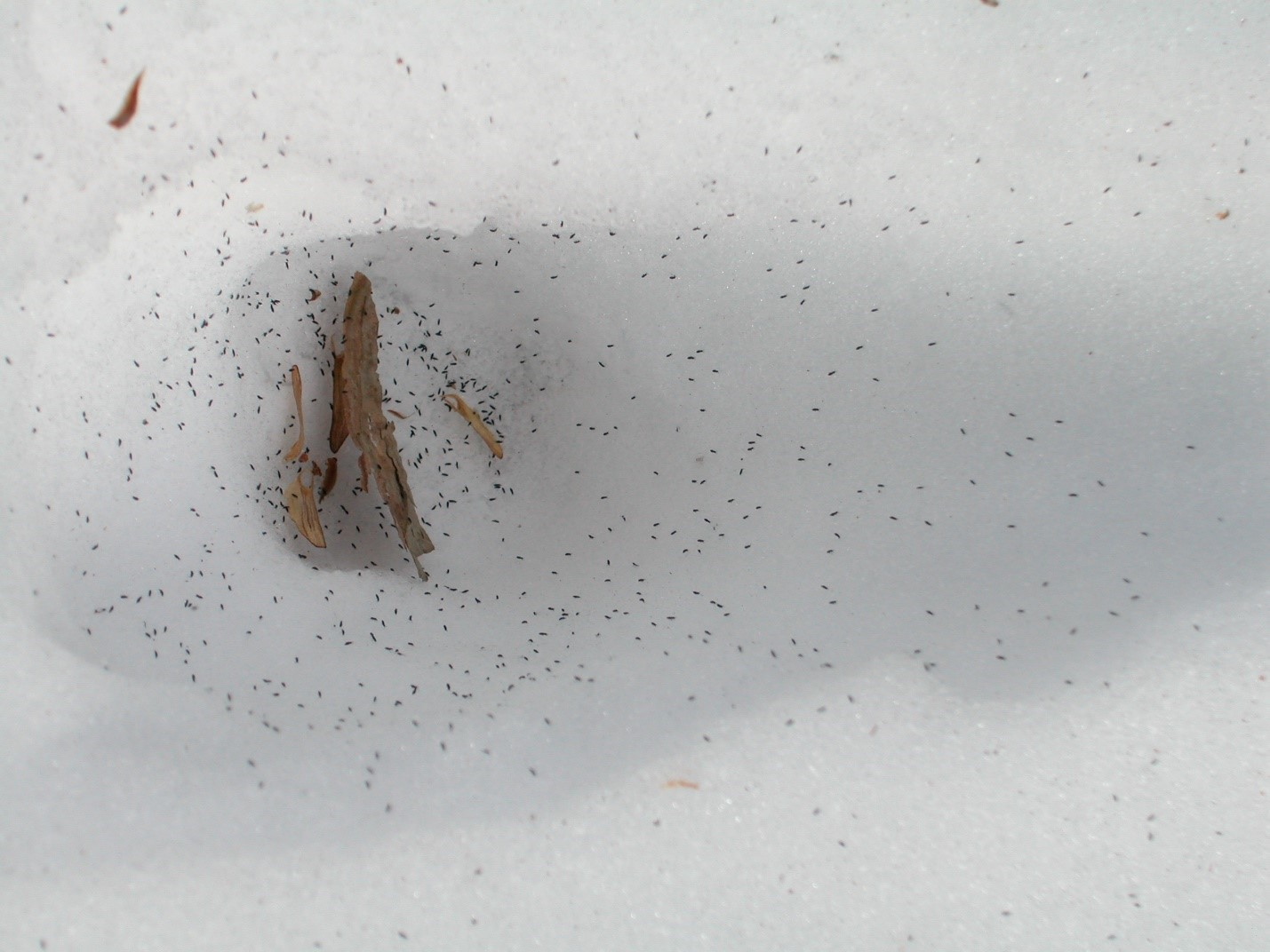 Many snow fleas on snow.