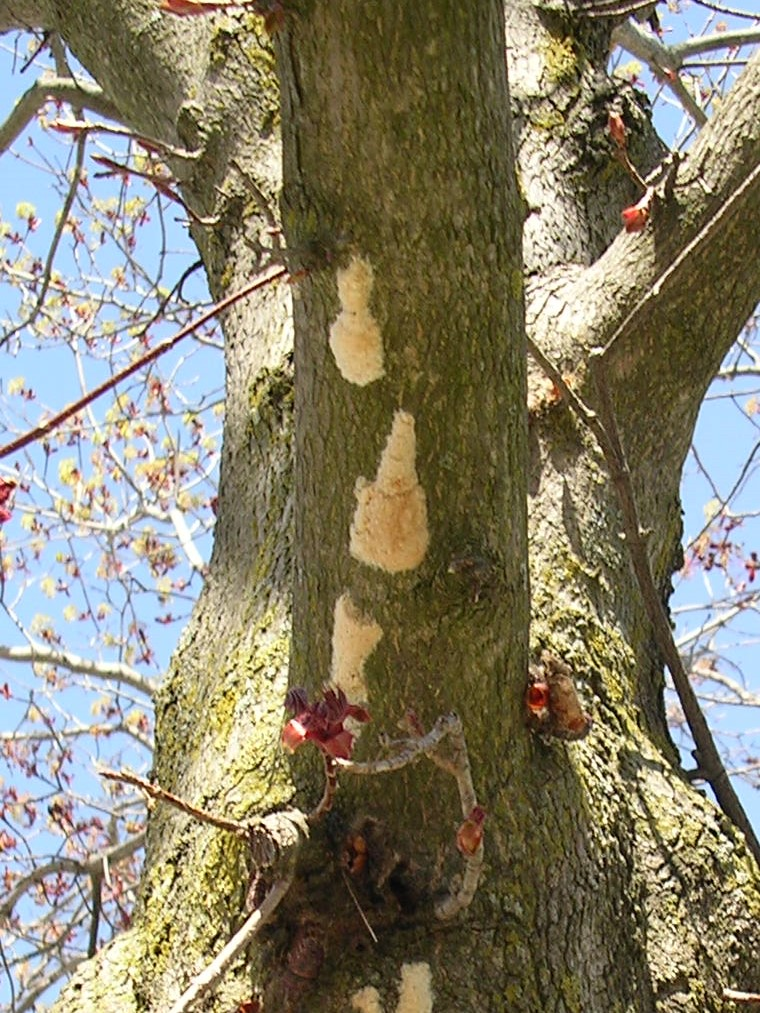Gypsy moth egg masses on the underside of a maple branch