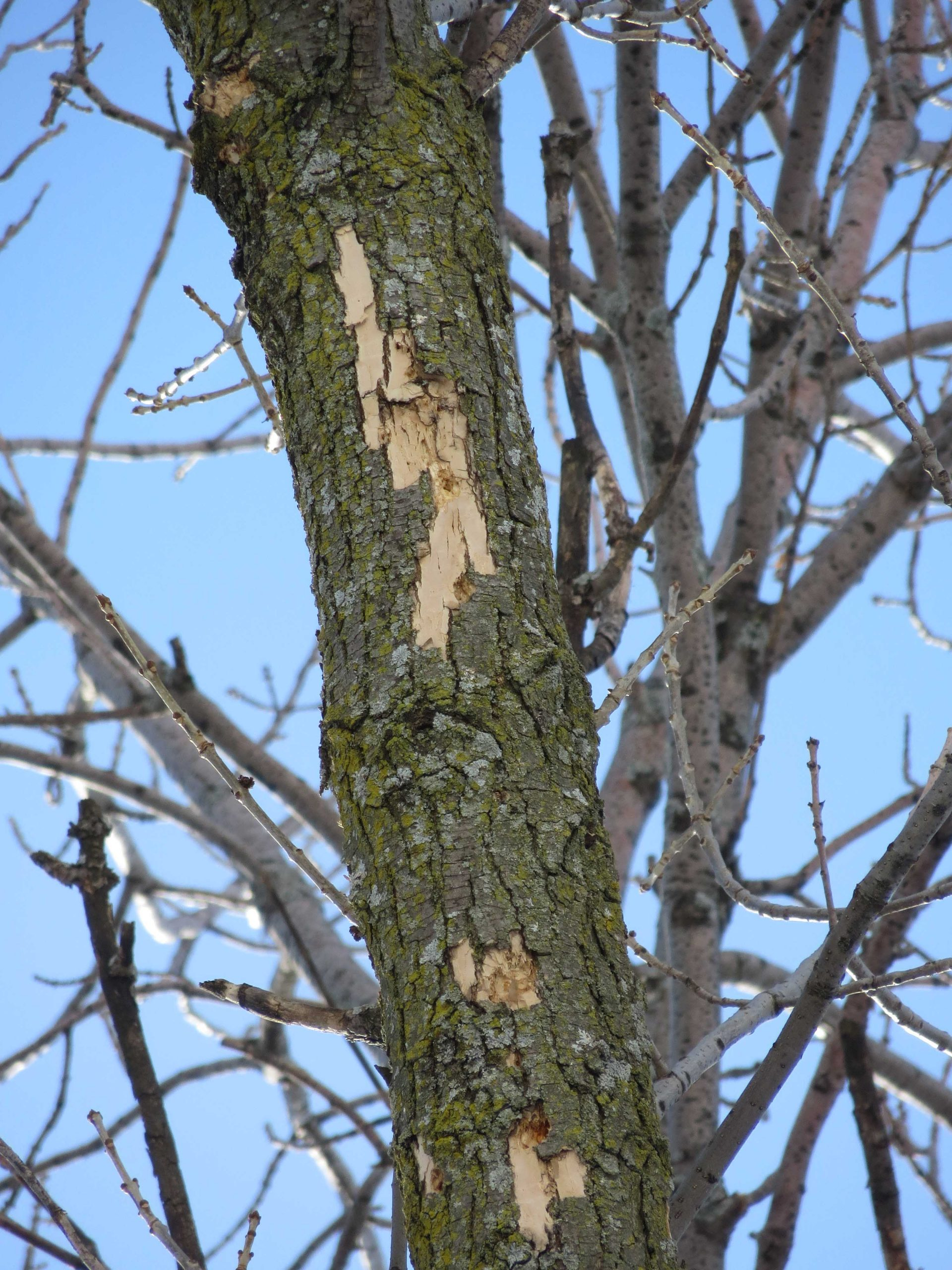 An ash tree branch with bark missing after woodpeckers attacked it while looking for larvae to eat.